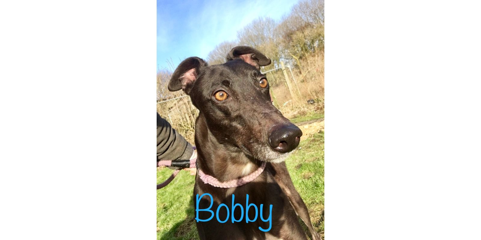 New dog listed for rescue at the West Scotland Retired Greyhound Trust - Bobby