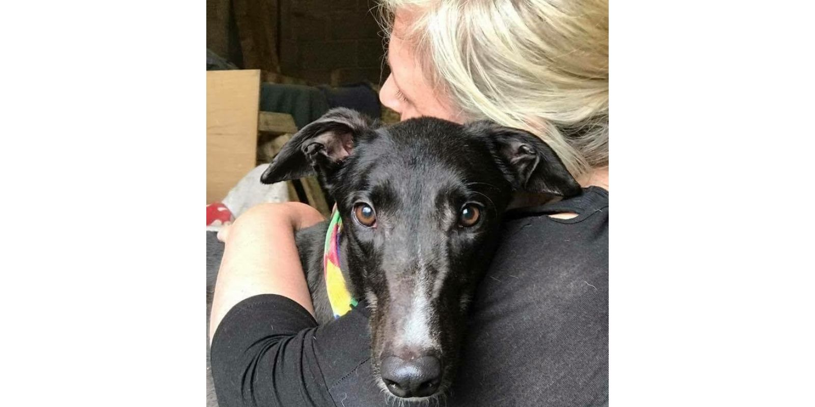New dog listed for rescue at the West Scotland Retired Greyhound Trust - Harry