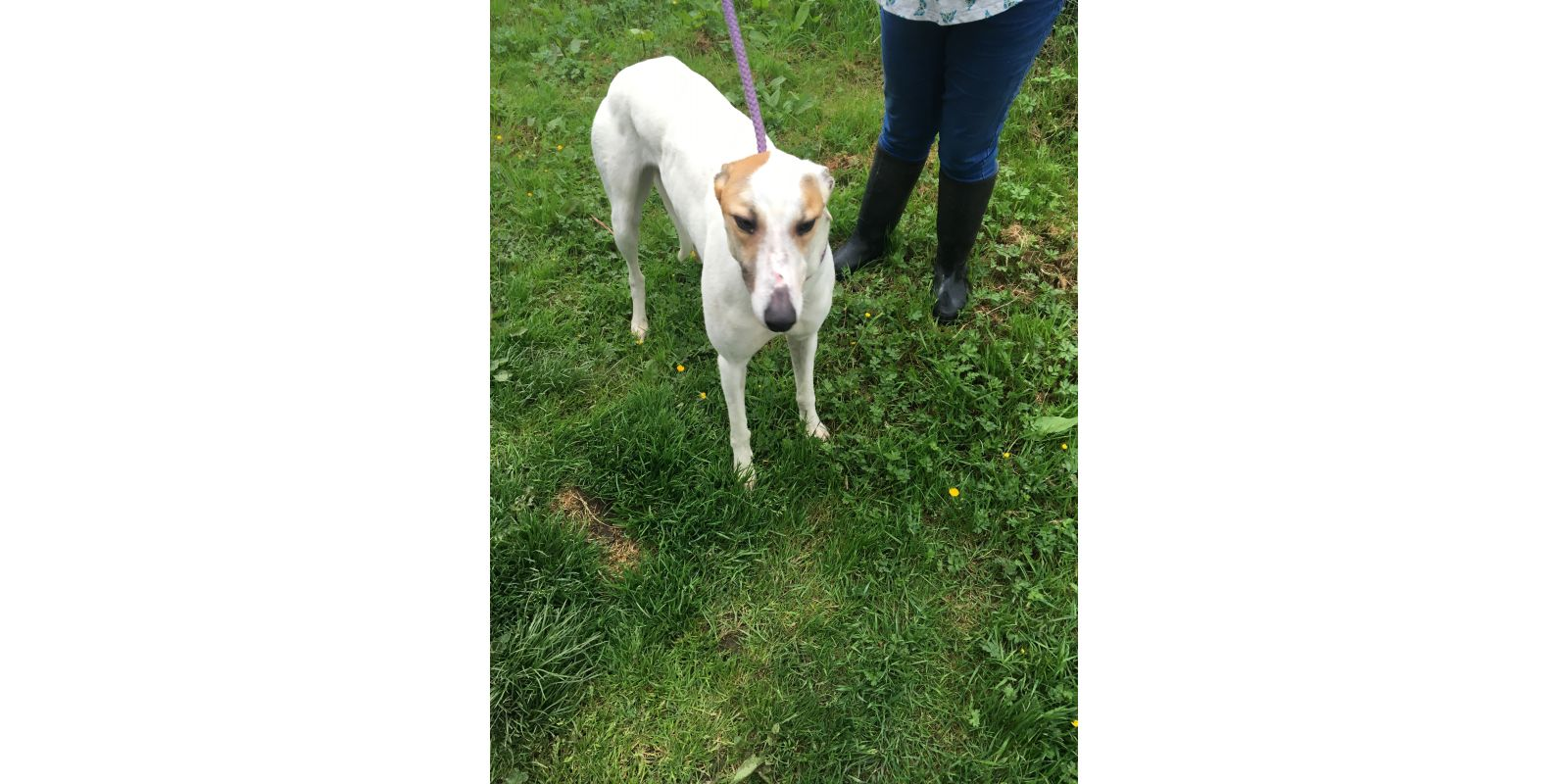 New dog listed for rescue at the West Scotland Retired Greyhound Trust - Molly