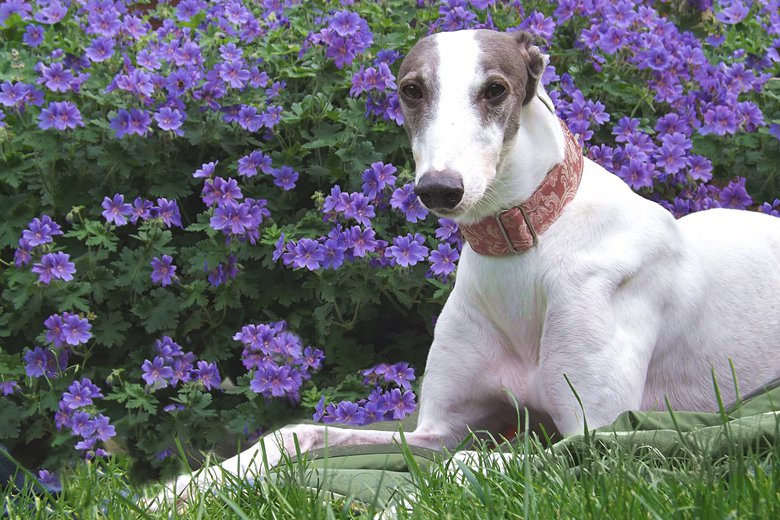 Blue & white greyhound in front of flower bush
