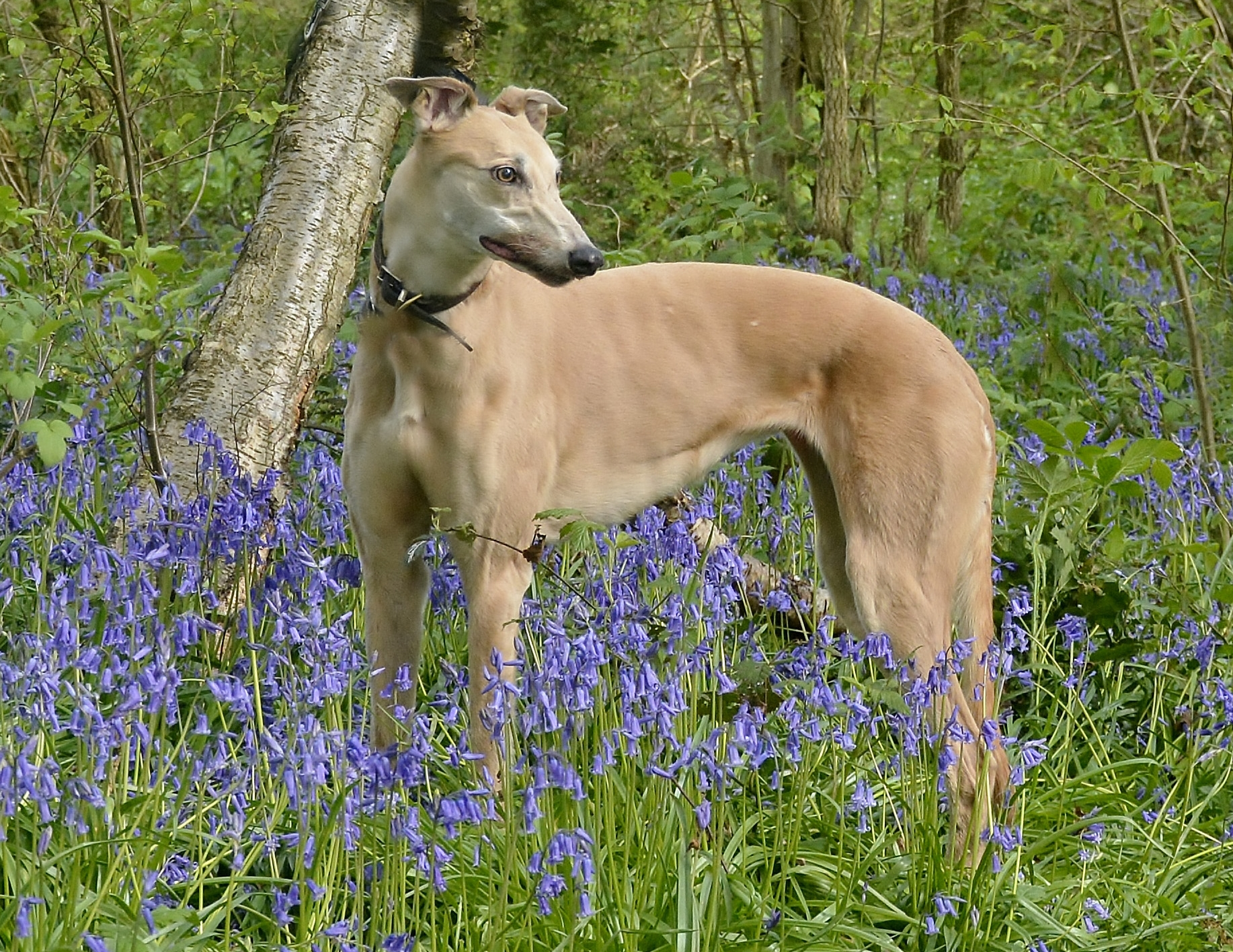 Fawn female greyhound in bluebells