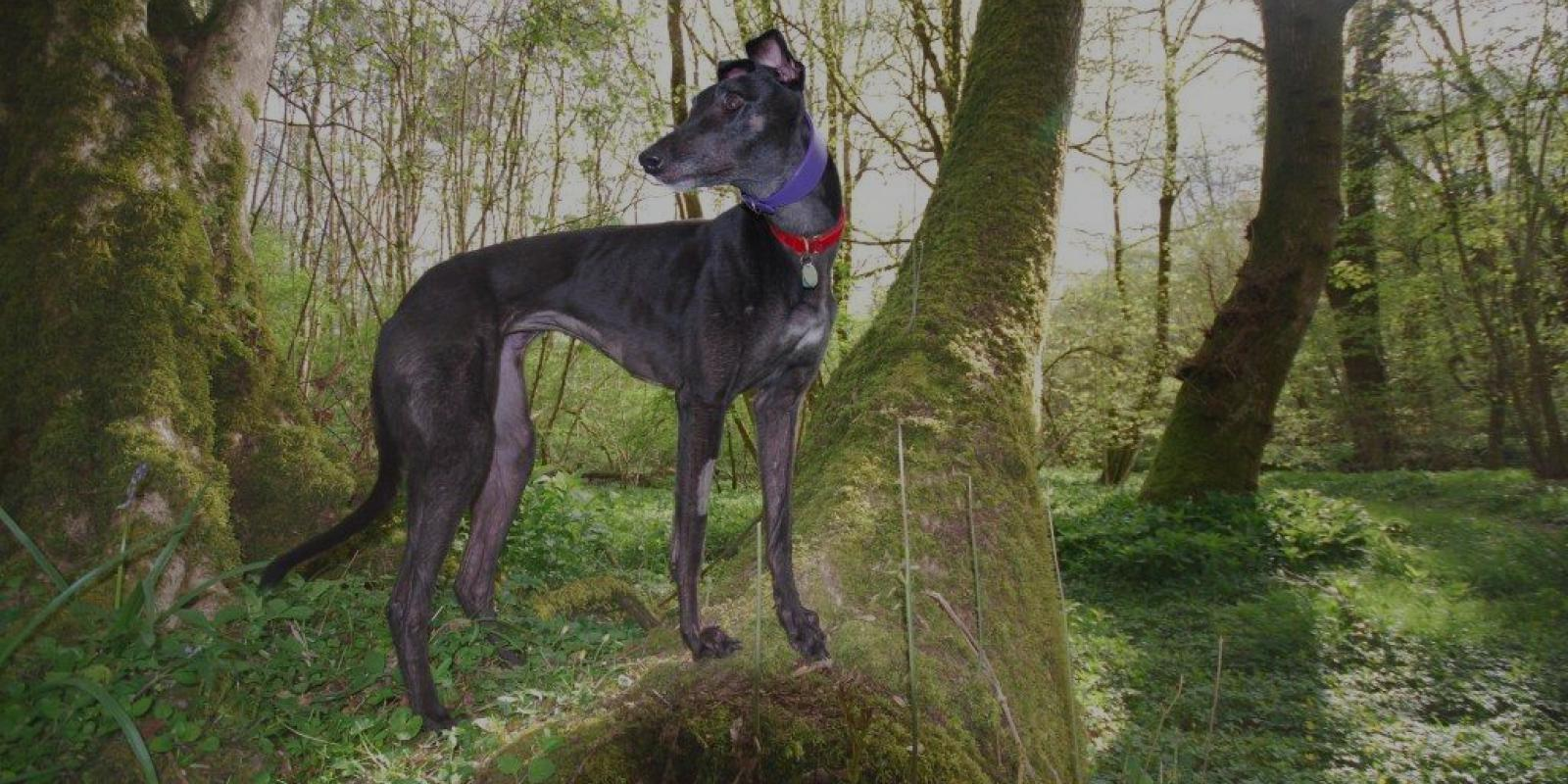 Black greyhound on mossy fallen tree