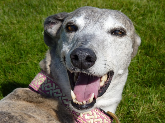 "Blue brindle greyhound ""smiling"" (headshot)"