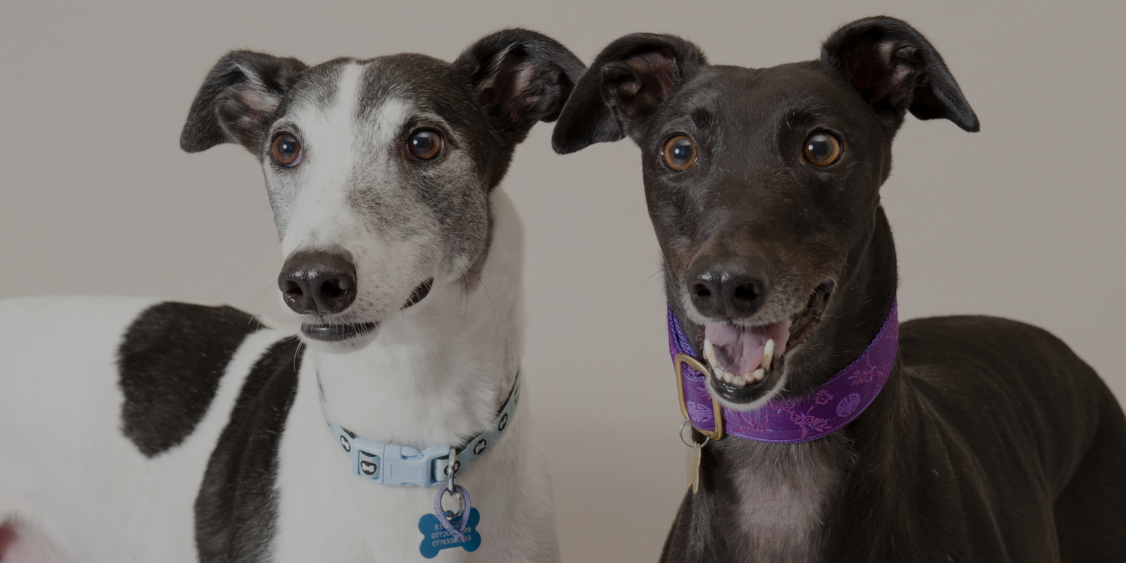 Professional portrait of two greyhounds