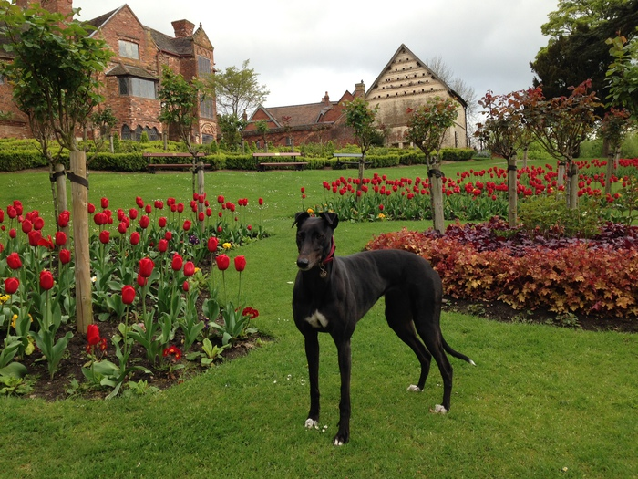 Black female greyhound in tulips