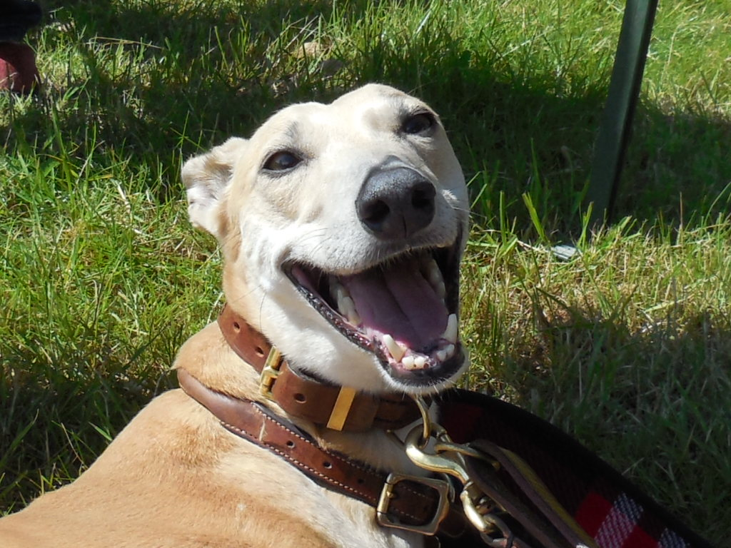 Headshot of smiling fawn greyhound