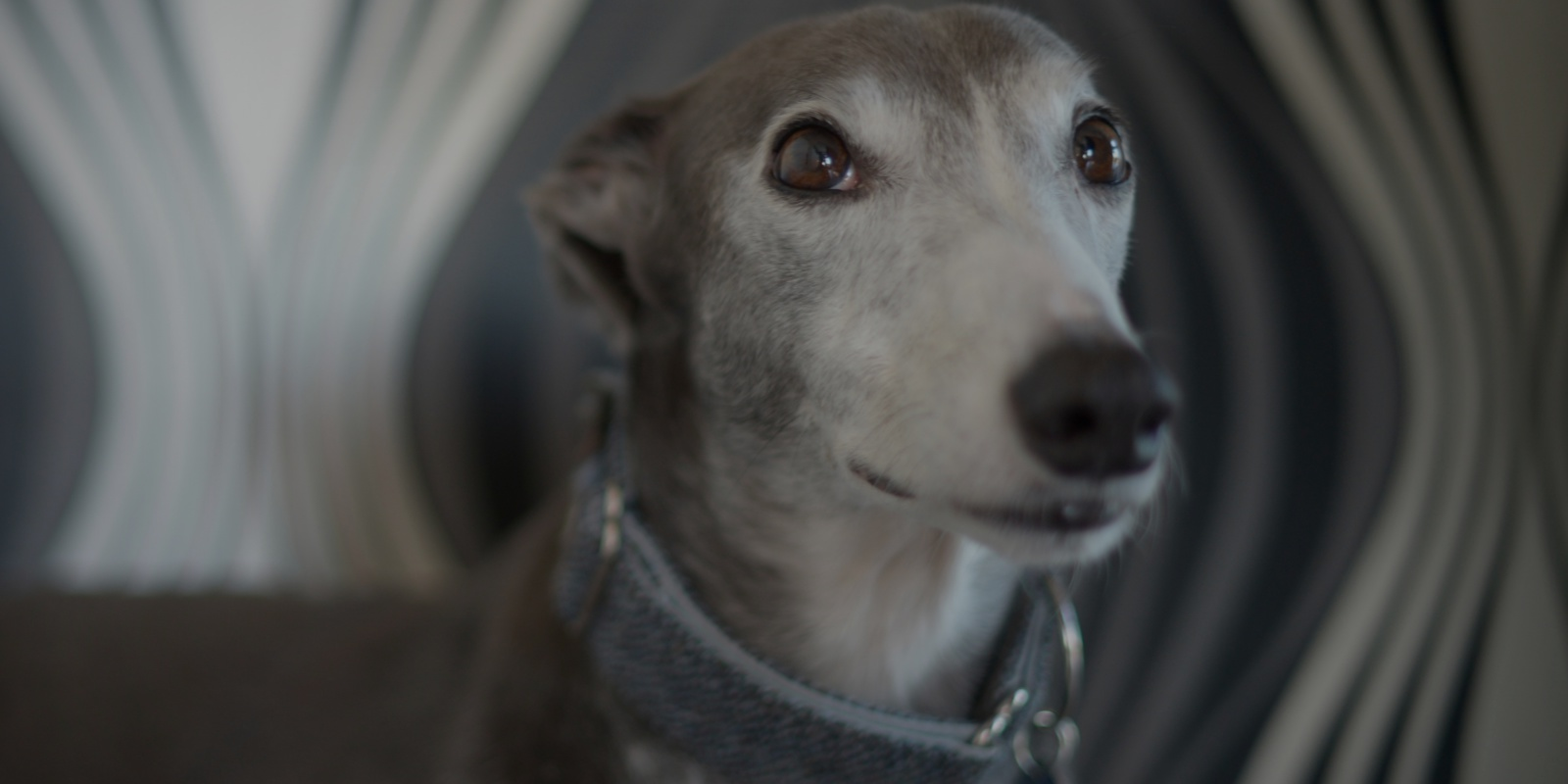 Headshot of greyhound with very grey face